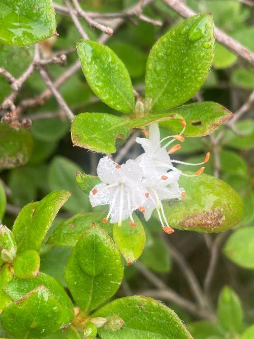 コメツツジ 安達太良山 植物 花