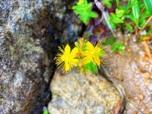 オトギリソウ(弟切草) 安達太良山 植物 花