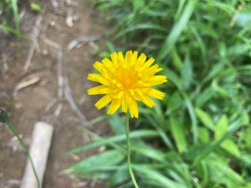 安達太良山 植物 花 草 たんぽぽ